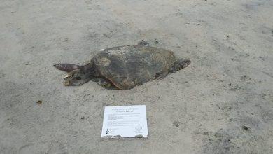 Foto de Tartaruga é encontrada morta em praia do litoral sul da Bahia