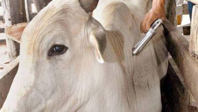Foto de Vacinação contra a febre aftosa termina dia 30; multa para quem não vacinar é de R$ 53 reais por animal