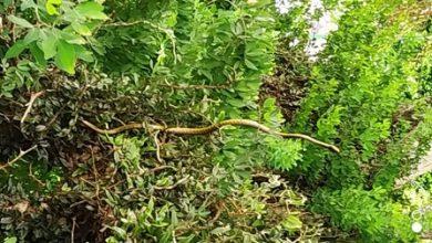 Foto de Moradores de Dom Macedo Costa encontram cobras em árvores na praça principal
